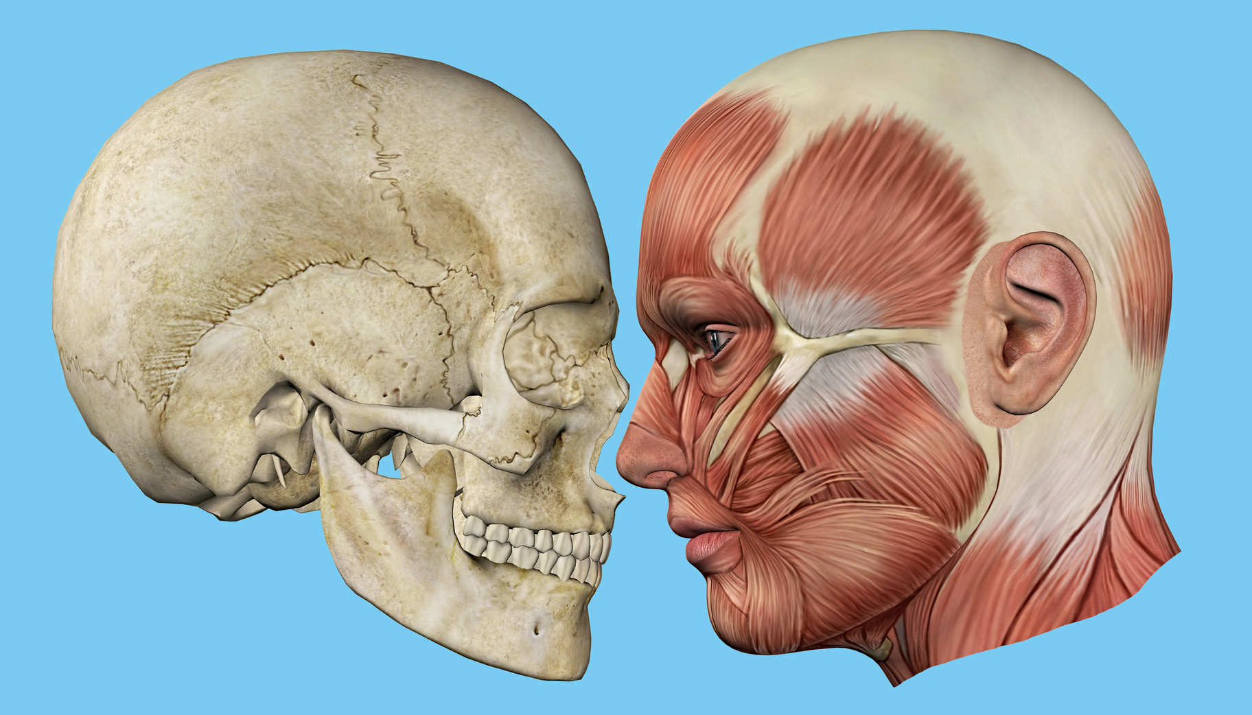 Skull And Muscles Profile Featuring Mandible Occipital Bone